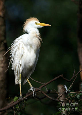 A Fluffed Cattle Egret Poster by Sabrina L Ryan