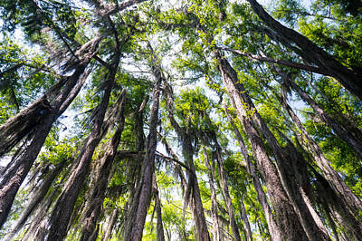 A Forest Of Bald Cypress Trees In The Caddo Lake Area Poster by Ellie Teramoto