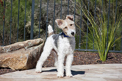 A Fox Terrier Puppy Standing On A Patio Poster