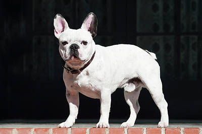 A French Bulldog Standing On A Red Poster