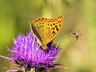 A Fritillary Butterfly Poster
