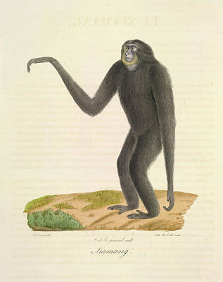 A Furred Gibbon Poster by British Library