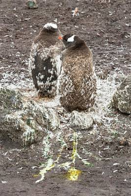 A Gentoo Penguin Moulting Poster by Ashley Cooper
