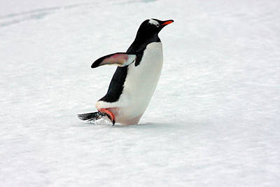 A Gentoo Penguin (pygoscelis Papua Poster