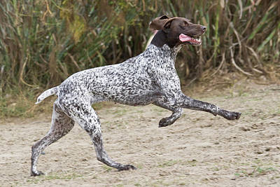 A German Shorthaired Pointer Running Poster