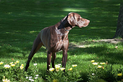 A German Shorthaired Pointer Standing Poster