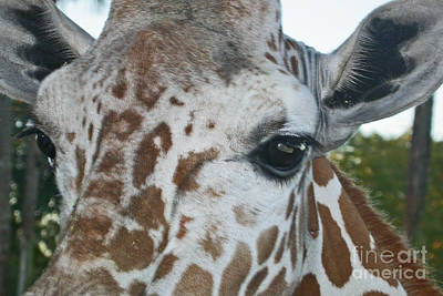 A Giraffe In Close Up Poster by Joan McArthur