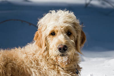 A Goldendoodle Lying In The Snow Bathed Poster
