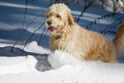 A Goldendoodle Running Through The Snow Poster