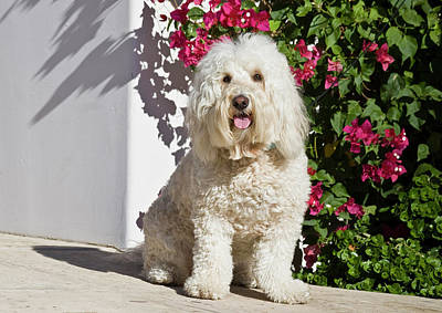 A Goldendoodle Sitting On A Garden Poster