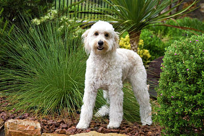 A Goldendoodle Standing In A Garden Poster