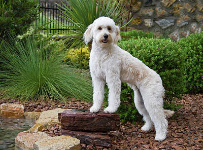 A Goldendoodle Standing On A Rock Poster
