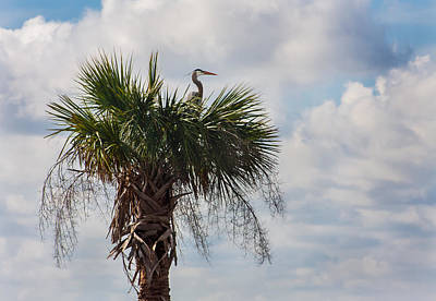 A Great Blue Heron Nests On A Cabbage Palmetto Poster