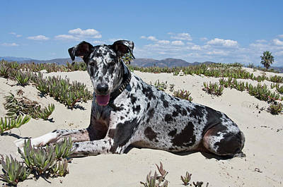 A Great Dane Lying In The Sand Poster