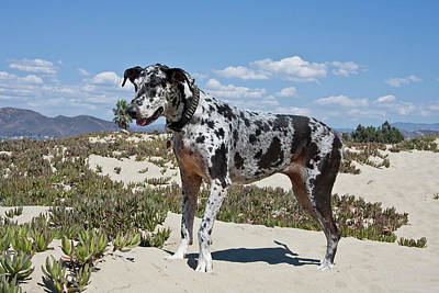 A Great Dane Standing In Sand Poster