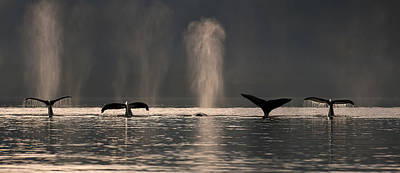 A Group Of Humpback Whales Dive Down As Poster by John Hyde