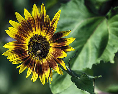 Poster featuring the photograph A Growing Sunflower by Gary Neiss