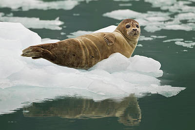A Harbor Seal Hauls Out On An Iceberg Poster