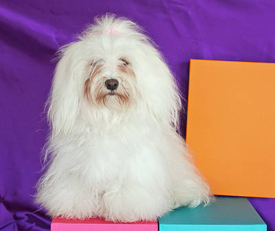 A Havanese Sitting In Front Of Colorful Poster by Zandria Muench Beraldo