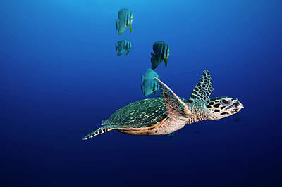 A Hawksbill Sea Turtle And Batfish Swim Poster by David Doubilet