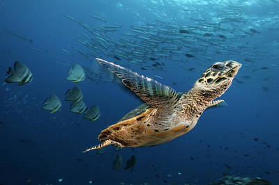 A Hawksbill Sea Turtle Swims Poster by David Doubilet