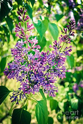 A Heady Perfume - Lilacs Poster