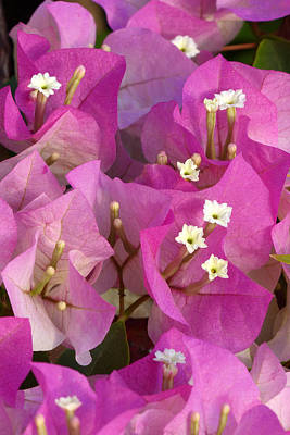 A Heavenly Bougainvillea Poster