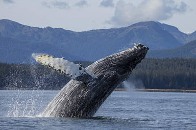 A Humpback Whale Breaches As It Leaps Poster by John Hyde