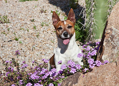 A Jack Russell Terrier Sitting Poster