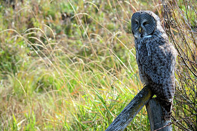 A Juvenal Great Grey Owl, The Largest Poster by Richard Wright