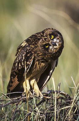 A Juvenile Short-eared Owl Asio Poster by Robert L. Potts