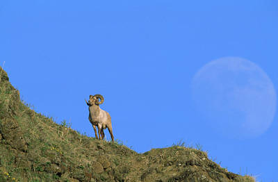 A Kamchatka Snow Sheep Ram And A Huge Poster by Steve Winter