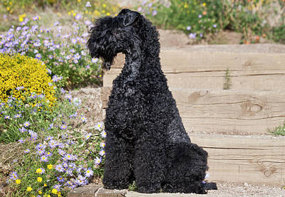 A Kerry Blue Terrier Sitting On Wooden Poster by Zandria Muench Beraldo