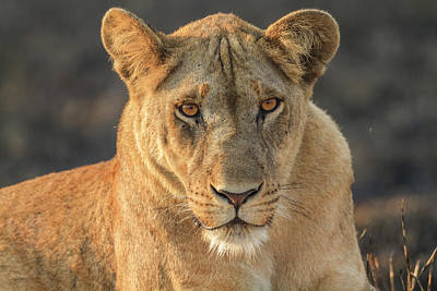 A Lioness Looks At The Camera Poster