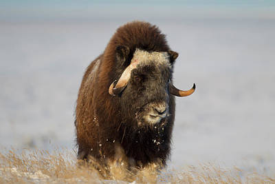 A Lone Musk Ox Bull Browses On Sedges Poster by Hugh Rose