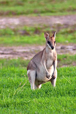 A Male Grey Kangaroos (macropus Poster by Miva Stock