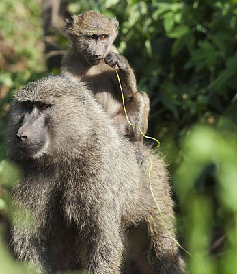 A Monkey And Its Baby Sitting On Her Poster by Diane Levit