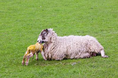 A New Born Lamb And Mother Poster