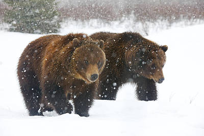 A Pair Of Adult Brown Bears Walk Poster