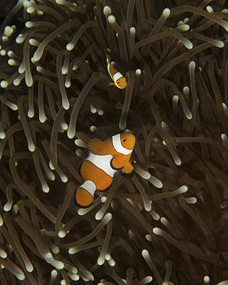A Pair Of Anemonefish In Its Host Poster by Brent Barnes