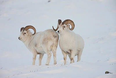 A Pair Of Dall Sheep Rams Survey Each Poster by Hugh Rose