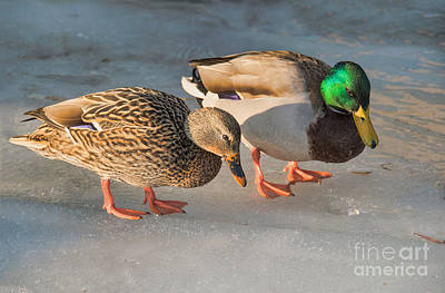 A Pair Of Mallards On Frozen Lake Poster