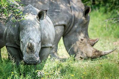 A Pair Of Rhinoceros  Rhinocerotidae Poster