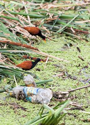 A Pair Of Wattled Jacana Poster by Ashley Cooper