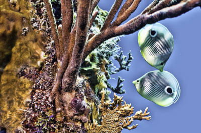 Two Butterfly Fish And Coral Reef Poster