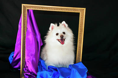 A Picture Of An American Eskimo Dog Poster