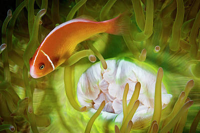A Pink Anemonefish Inside Its Host Poster by David Doubilet