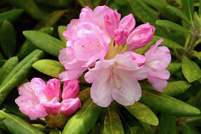 A Pink Rhododendron In Bloom Poster