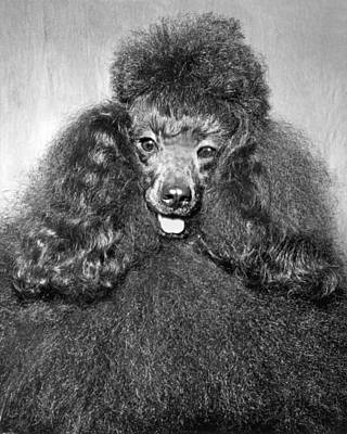 A Poodle And His Hairdo Poster by Underwood Archives