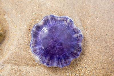 A Purple Jellyfish Poster
